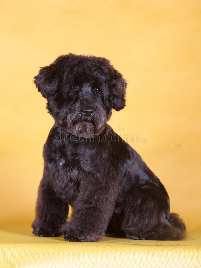 Pet dog. Black lovely pet dog with yellow background royalty free stock photo
