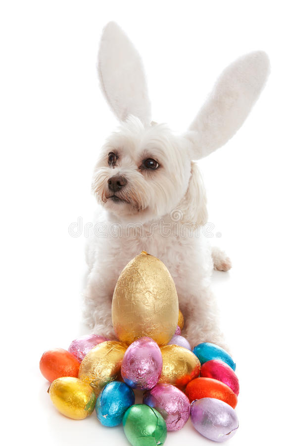 Pet dog animal with easter eggs. A pampered white maltese terrier dog wearing white bunny ears among lots of colorful chocolate easter eggs. White background royalty free stock images