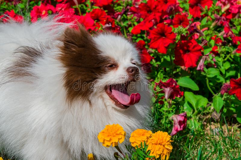 Pet dog breed Pomeranian white Spitz close-up on a background of bright summer flowers and grass stock photos