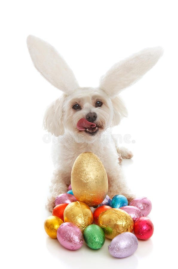 Pet dog bunny ears easter eggs. A white maltese terrier pet dog licking lips sitting among a selection of colourful chocolate easter eggs. White background stock photography
