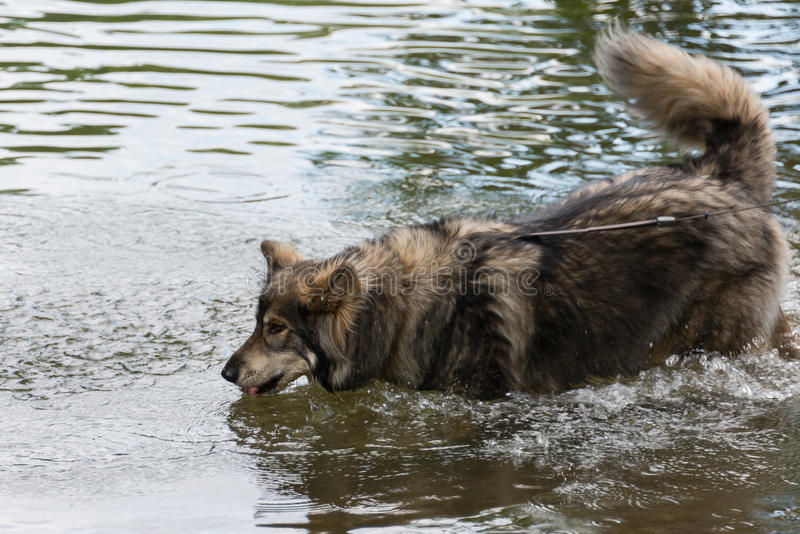Pet dog drinking from river stock photo