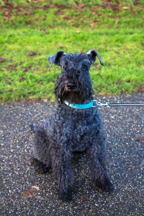 Pet dog kerry blue terrier walks in the park. The dog is sitting. Happy pet concept royalty free stock image