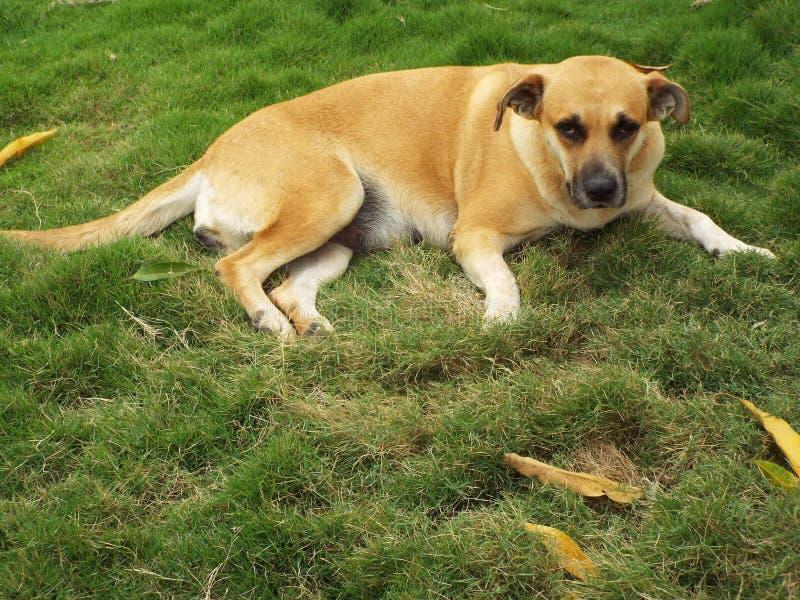Pet dog laila in Porto Esperidiao royalty free stock photography