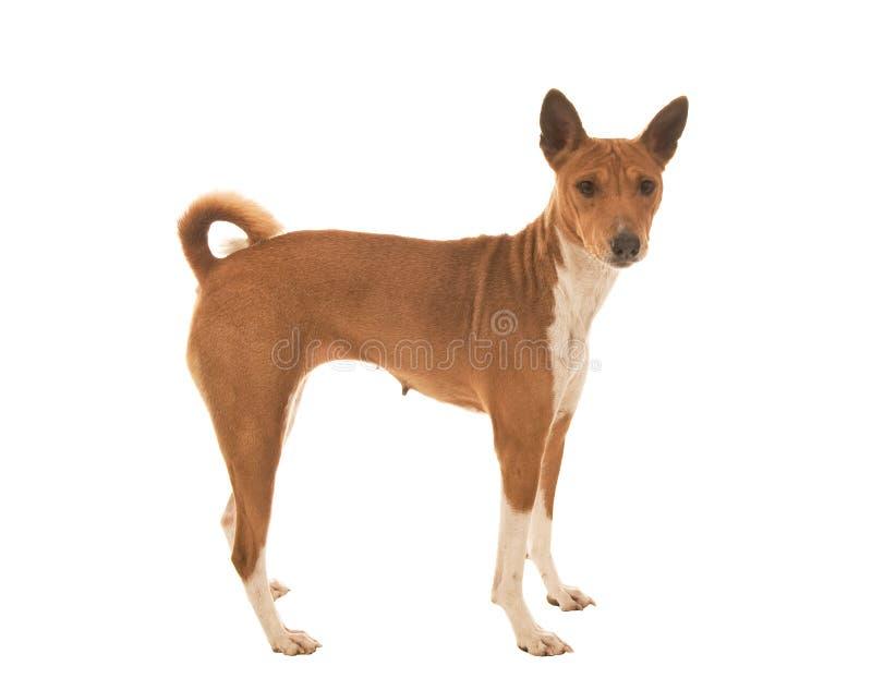 Pet dog looking surprised. Dark eyed Pet dog looking very surprised stock images