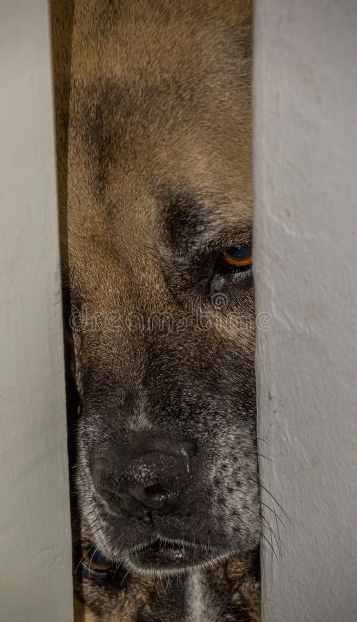 Pet dog peeps through a crack in the door. A pet dog peeps through a partially open door in the house image in portrait format with copy space stock photo