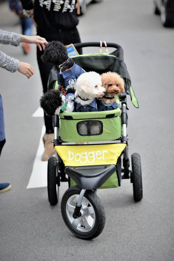 Pet dogs in japan carried around in baby carriage stock image