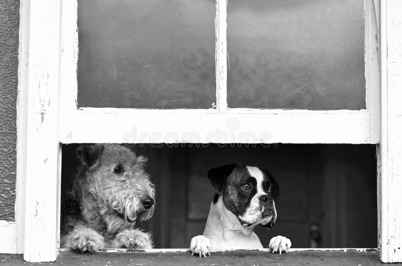 Pet dogs waiting, watching with separation anxiety for return of owner. A wonderful image showing a pets perspective of when we humans go out and leave our pet