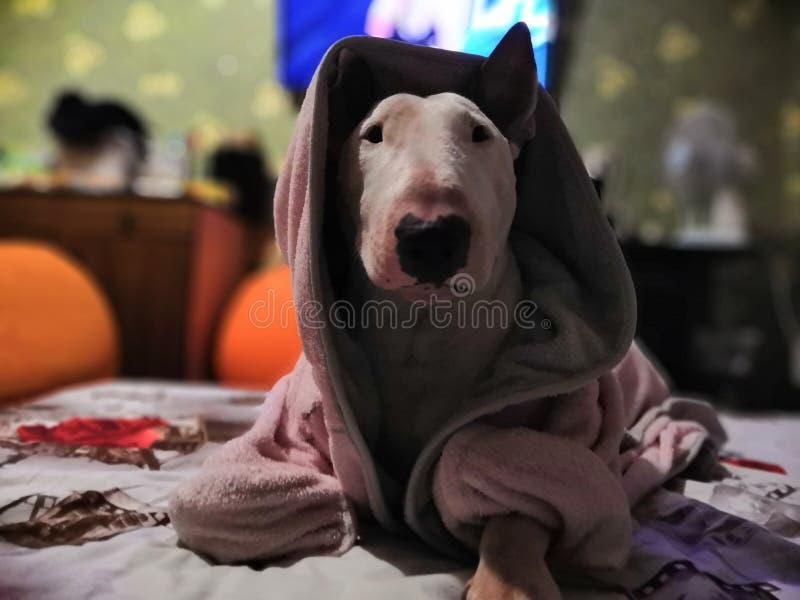 Cute bull terrier posing royalty free stock photos