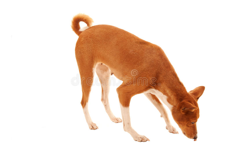 Download Pet finds treat stock photo. Image of feet, canine, ears - 18152156