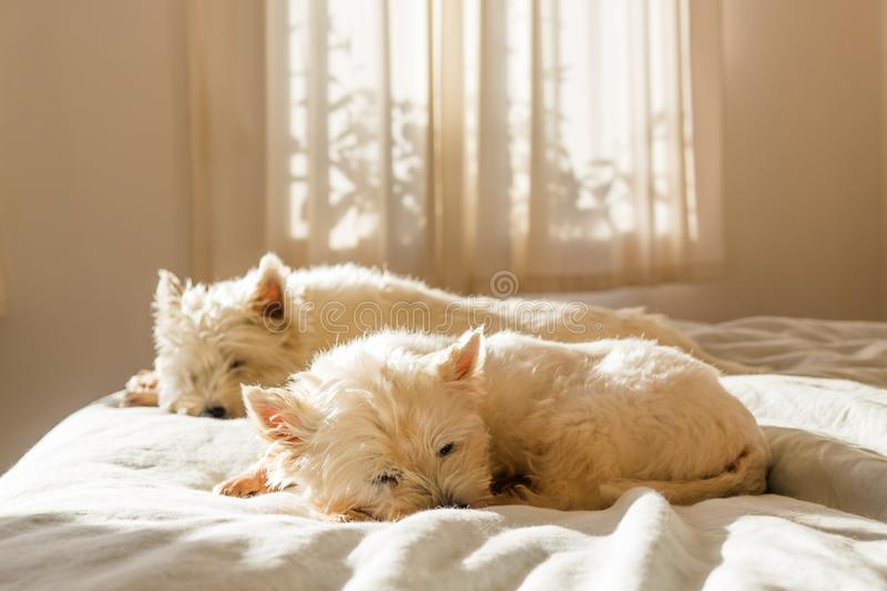 Pet friendly accommodation: lazy west highland white terrier westie dogs having morning sleep in on bed stock images