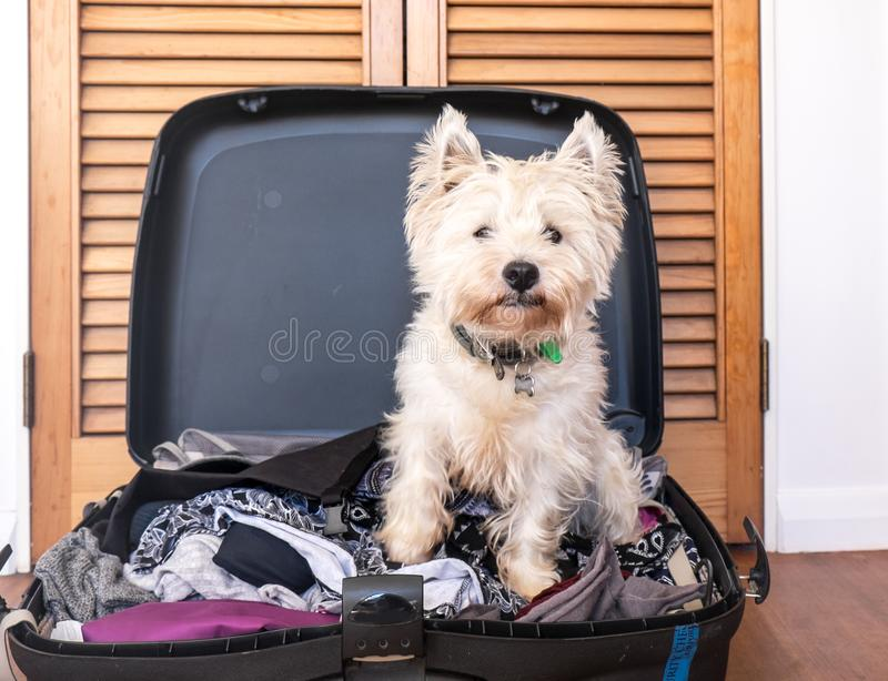 Pet friendly accommodation: scruffy west highland white terrier. Westie dog in packed suitcase luggage royalty free stock images