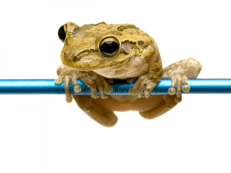 Pet Froggie. Photo of Bobbie the pet frog enjoying the view of his surroundings royalty free stock images