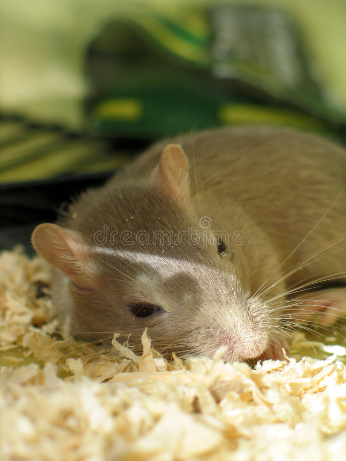 Pet gerbil sleeping. Pet gerbil asleep in cage on bed of rodent sawdust royalty free stock photo