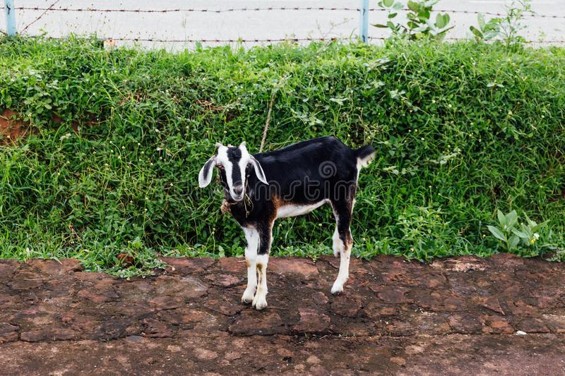Pet goat with black and white fur standing on dirt with green bushes in background at Bodh Gaya, Bihar, India stock images