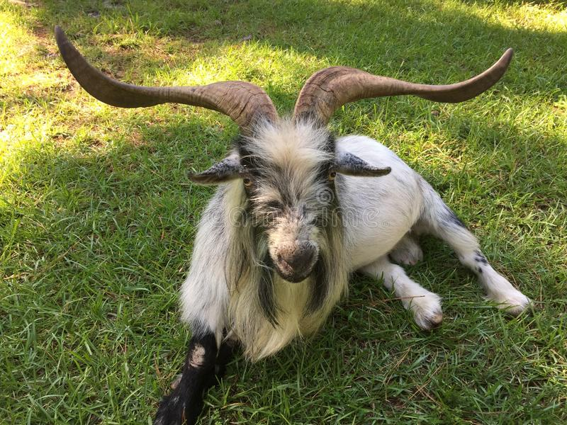 Pet Goat with large horns resting on the grass. Resting Billy goat with huge horns. Black and white shaggy hair on goat. Goat resting on the green grass stock photos