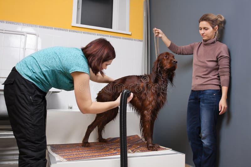 Pet groomer drying fur of dog stock photography