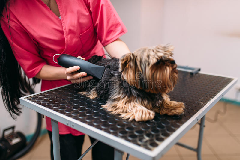 Pet groomer with haircut machine, dog hairstyle stock image