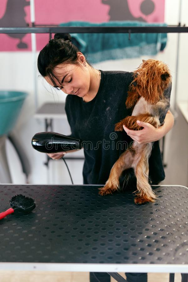 Pet Grooming. Groomer Drying Wet Dog Hair With Dryer At Salon stock images