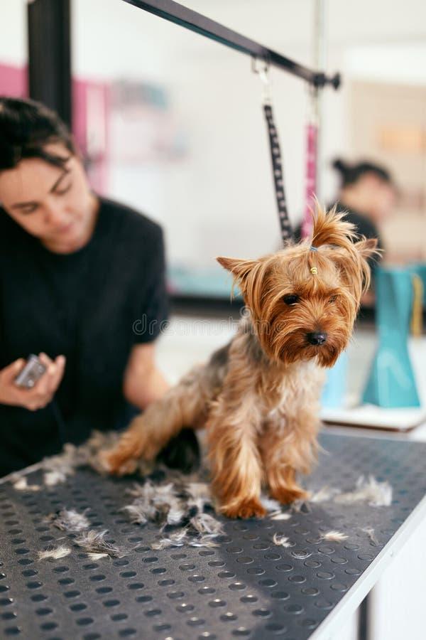 Pet Grooming Salon. Dog Getting Hair Cut At Animal Spa Salon royalty free stock photo