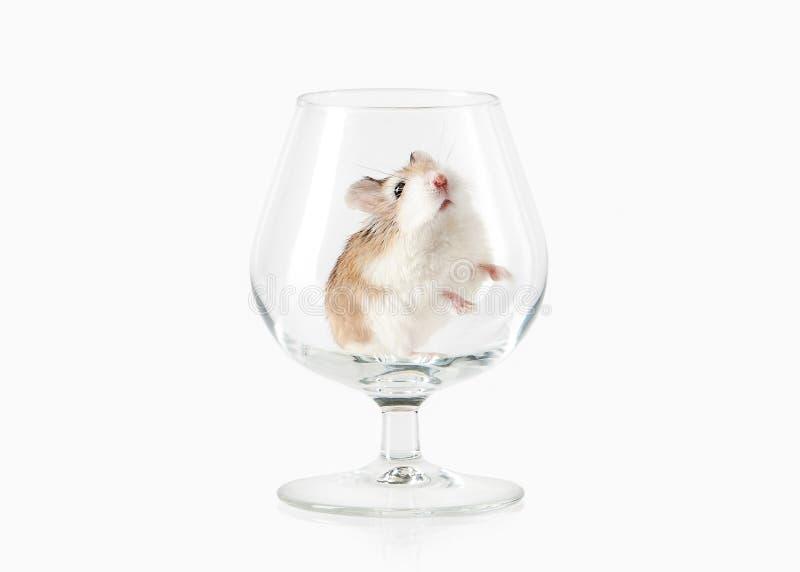 pet Hamster de Roborovski d'isolement sur le fond blanc image libre de droits