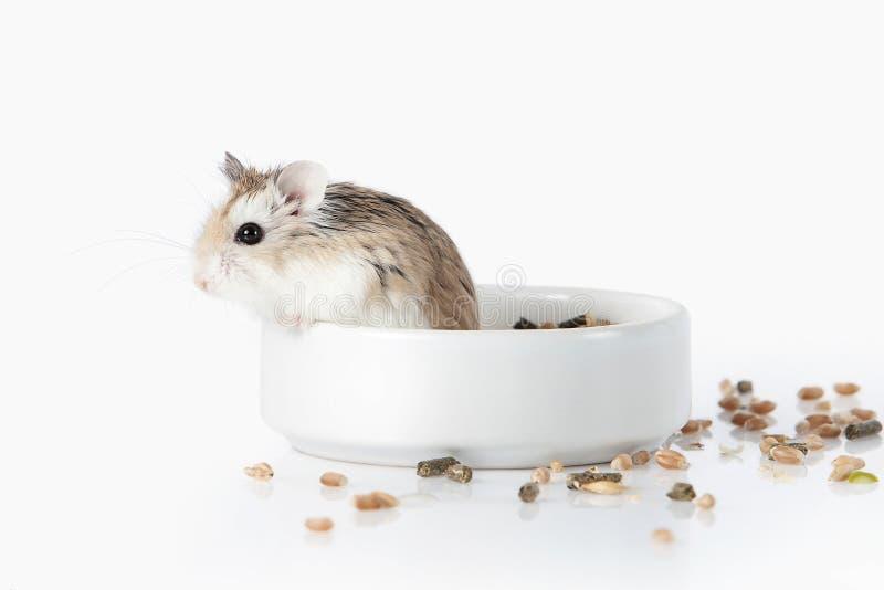 pet Hamster de Roborovski d'isolement sur le fond blanc images libres de droits