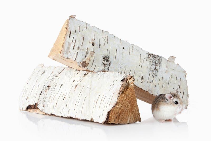 pet Hamster de Roborovski d'isolement sur le fond blanc photo libre de droits