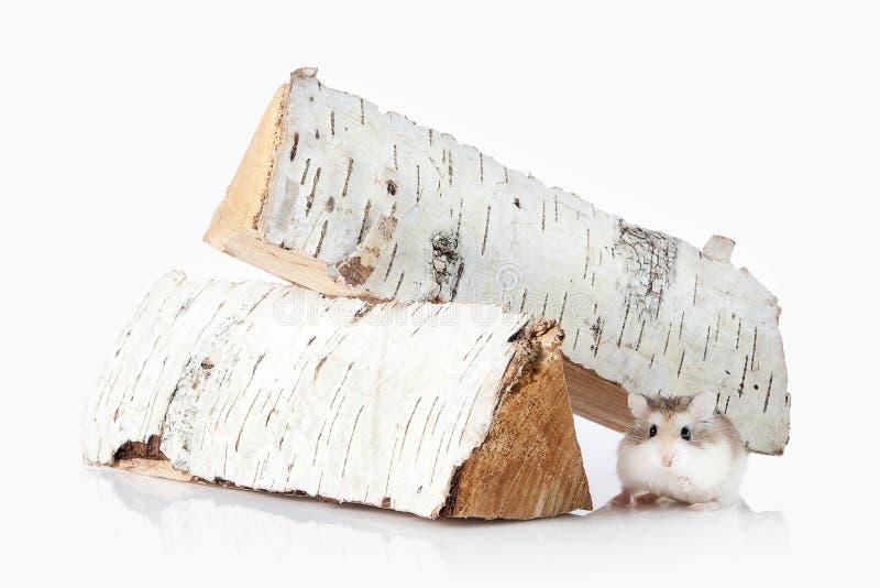 pet Hamster de Roborovski d'isolement sur le fond blanc photographie stock libre de droits