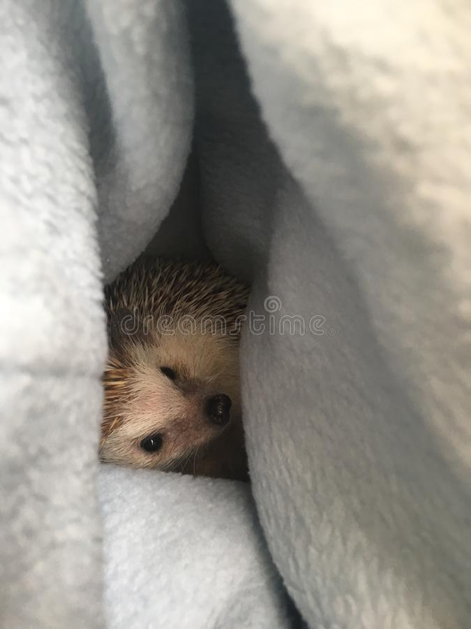 Free Pet Hedgehog Peeking Out Of Fleece Bag Royalty Free Stock Photos - 107939878