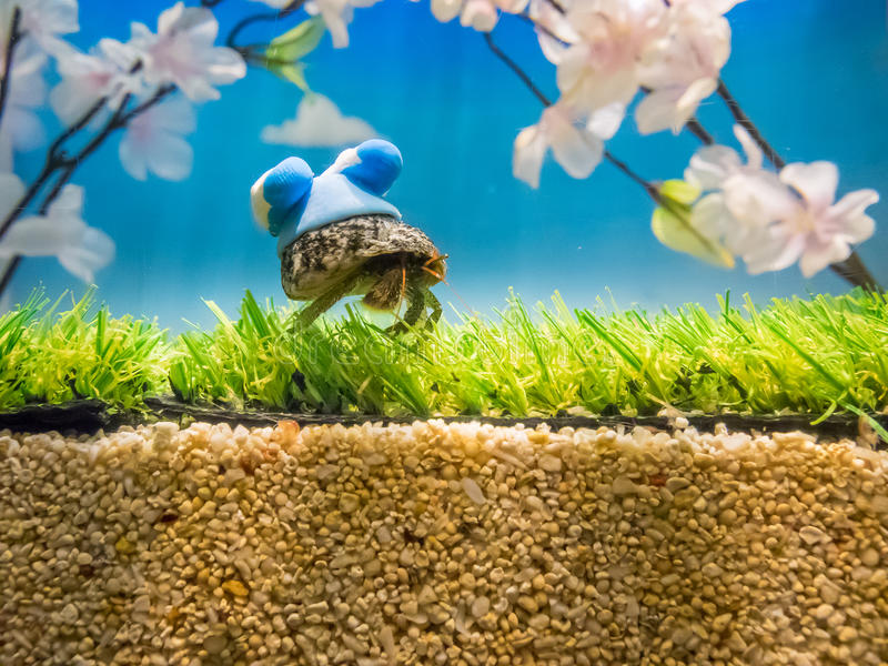 A pet hermit crab in a shell painted. Fukuoka, Japan - apr 6, 2015 : A pet hermit crab in a shell painted royalty free stock photos