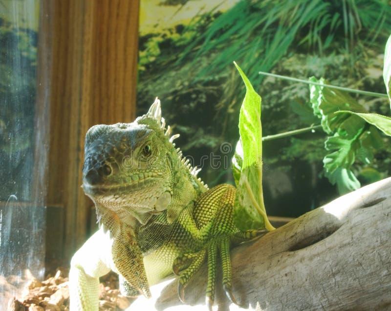 Pet Iguana royalty free stock images