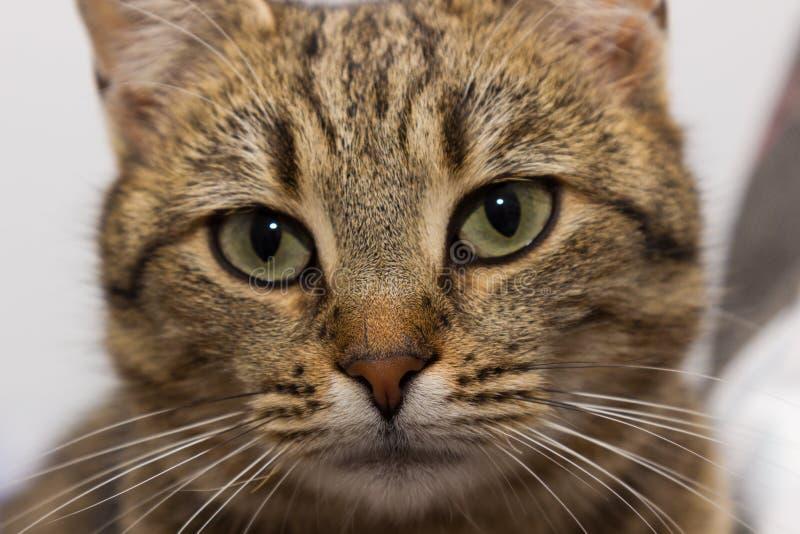 Pet il gatto fotografia stock