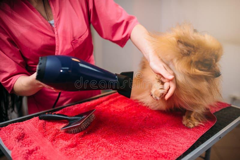 Pet il groomer con il fon, cane nel salone governare immagine stock
