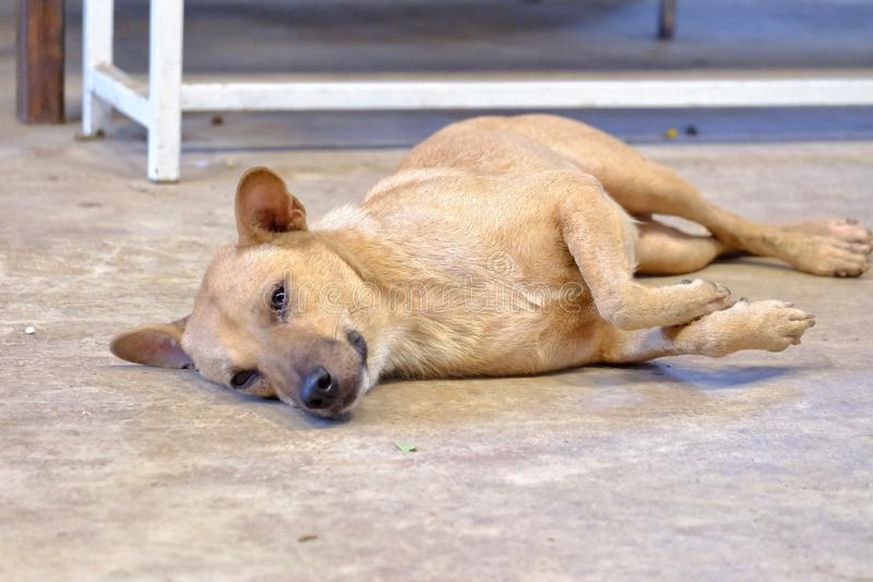 Thai brown dog sleeping on the cement ground floor with a white bench background royalty free stock image