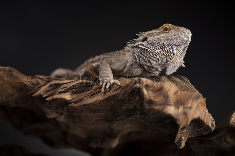 Pet, lizard Bearded Dragon on black background stock image
