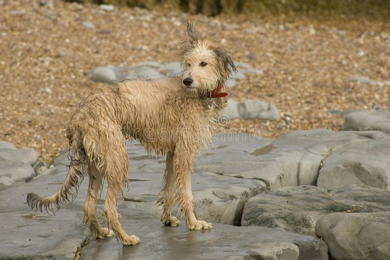 A Lurcher puppy dog playing on the beach royalty free stock images
