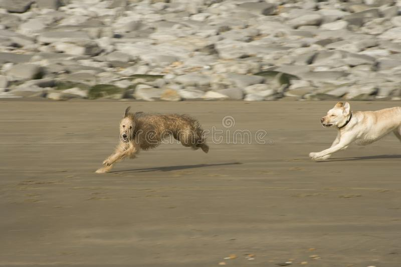 A Lurcher puppy dog playing on the beach stock photo