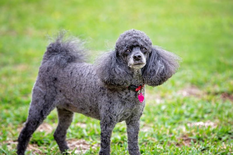 Miniature Black Poodle Pet Dog. A pet miniature black poodle with some grey fur, standing in its own backyard staring stock photography