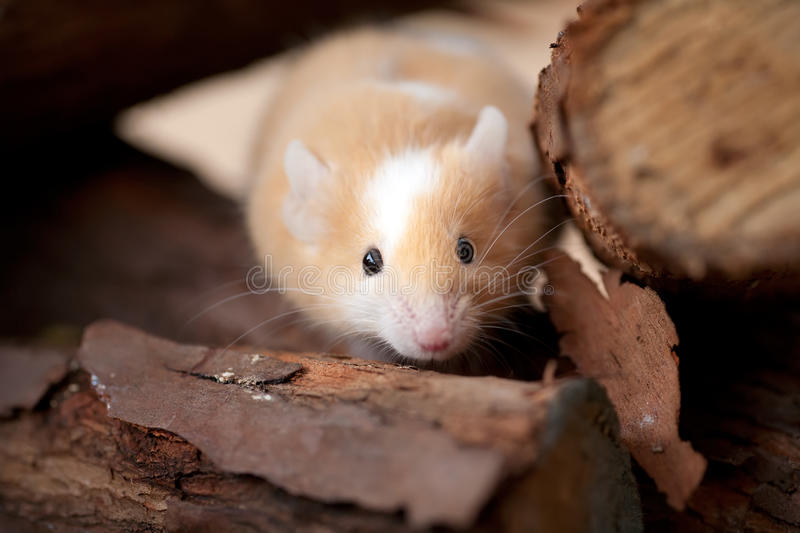 Pet mouse. A little brindle and white mouse peeking out of a wood pile royalty free stock image