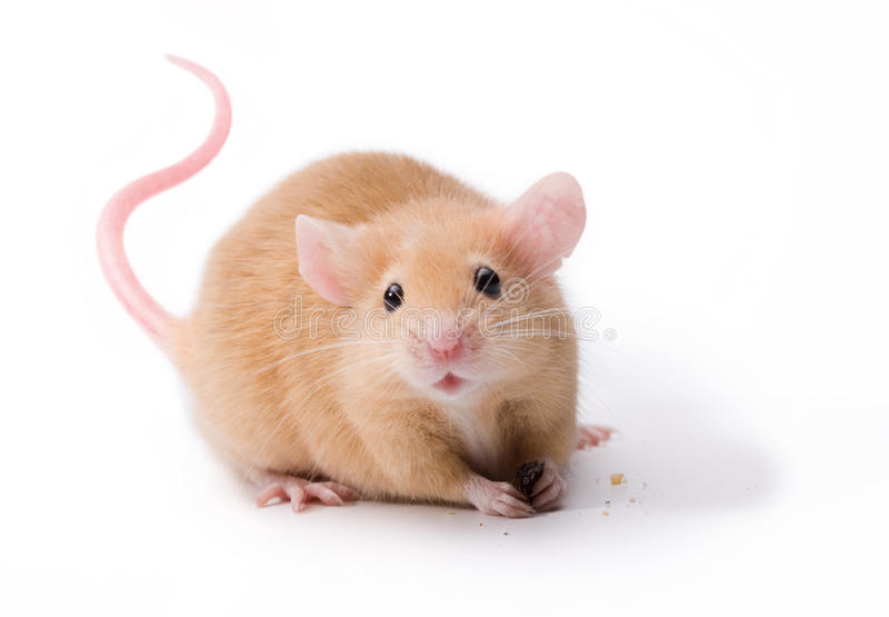 Pet Mouse Rodent Animal. A brown pet mouse eating a raisin isolated on white