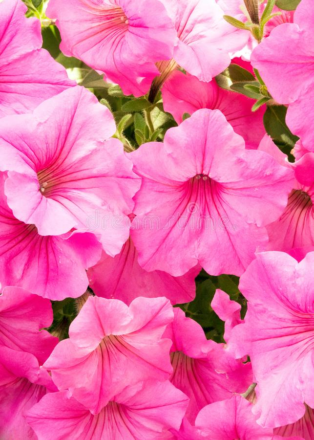 Pet?nias cor-de-rosa no jardim do ver?o fotografia de stock
