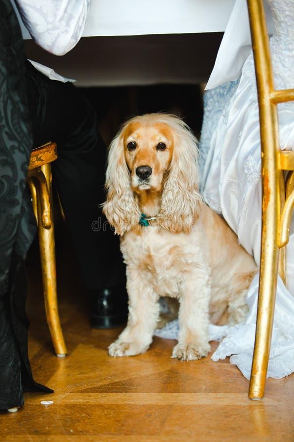 Pet om the wedding - English Cocker Spaniel royalty free stock photo