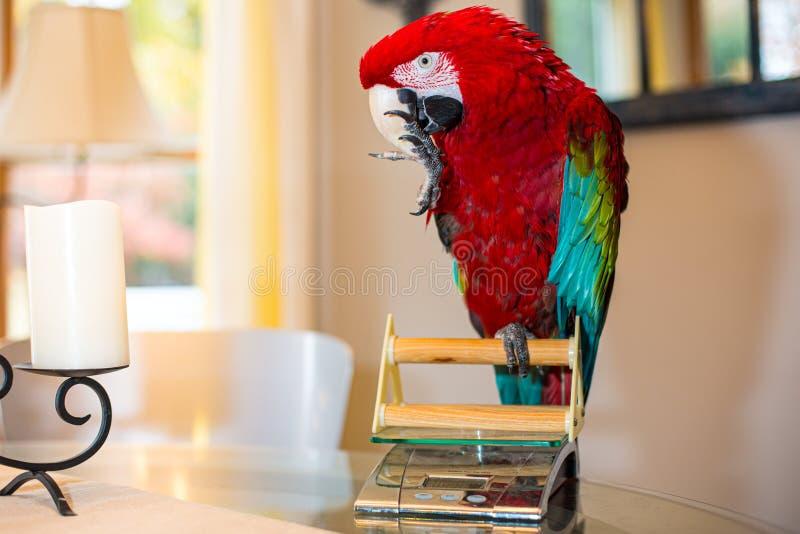 Pet papagaio de asas verdes para verificar o peso foto de stock