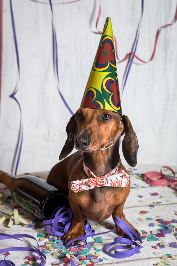 Pet in party hat and bow-tie sitting on confetti. Portrait of cute Dachshund in party hat on confetti royalty free stock images