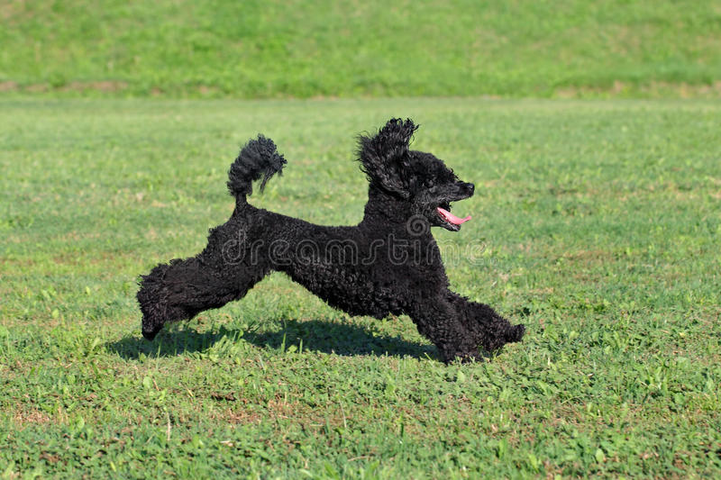 Pet poodle dog in action. Black playful poodle dog running at meadow stock photography