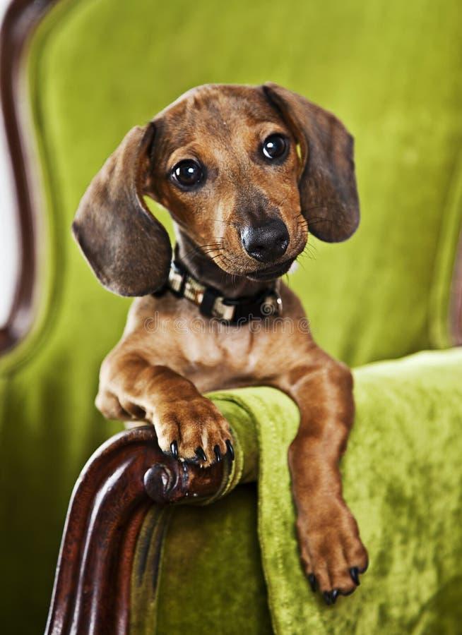 Pet Portrait Royalty Free Stock Image