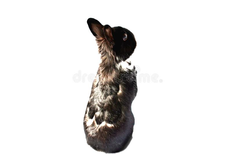 Pet rabbit with black and white fur isolated on white royalty free stock images