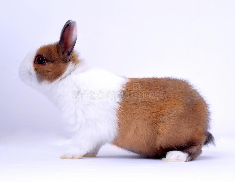 Pet rabbit. In white background,White and yellow hair color stock photography