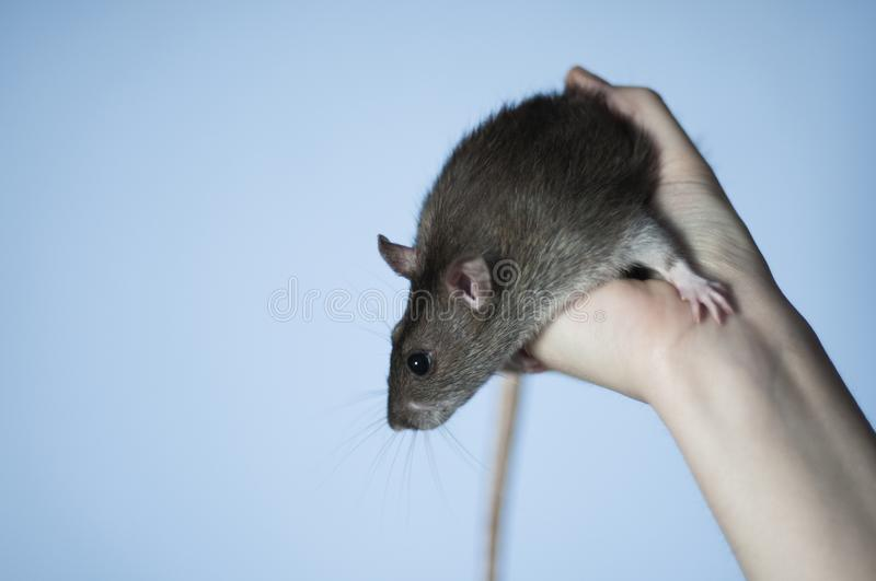 Pet rat on hand stock images
