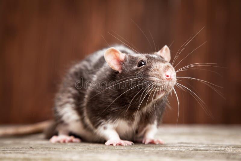 Pet rat stock photos