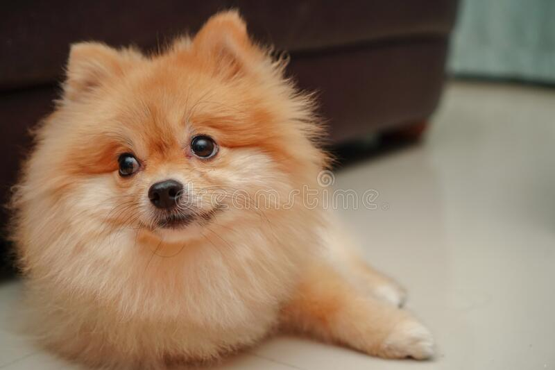 Pet, small dog breed for pomeranian, it lying down on the granite floor at home. Close up on pet, small dog breed for pomeranian, it lying down on the granite stock photography